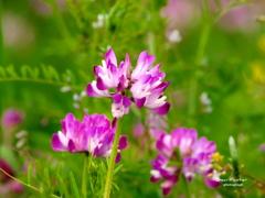 春の花 レンゲ