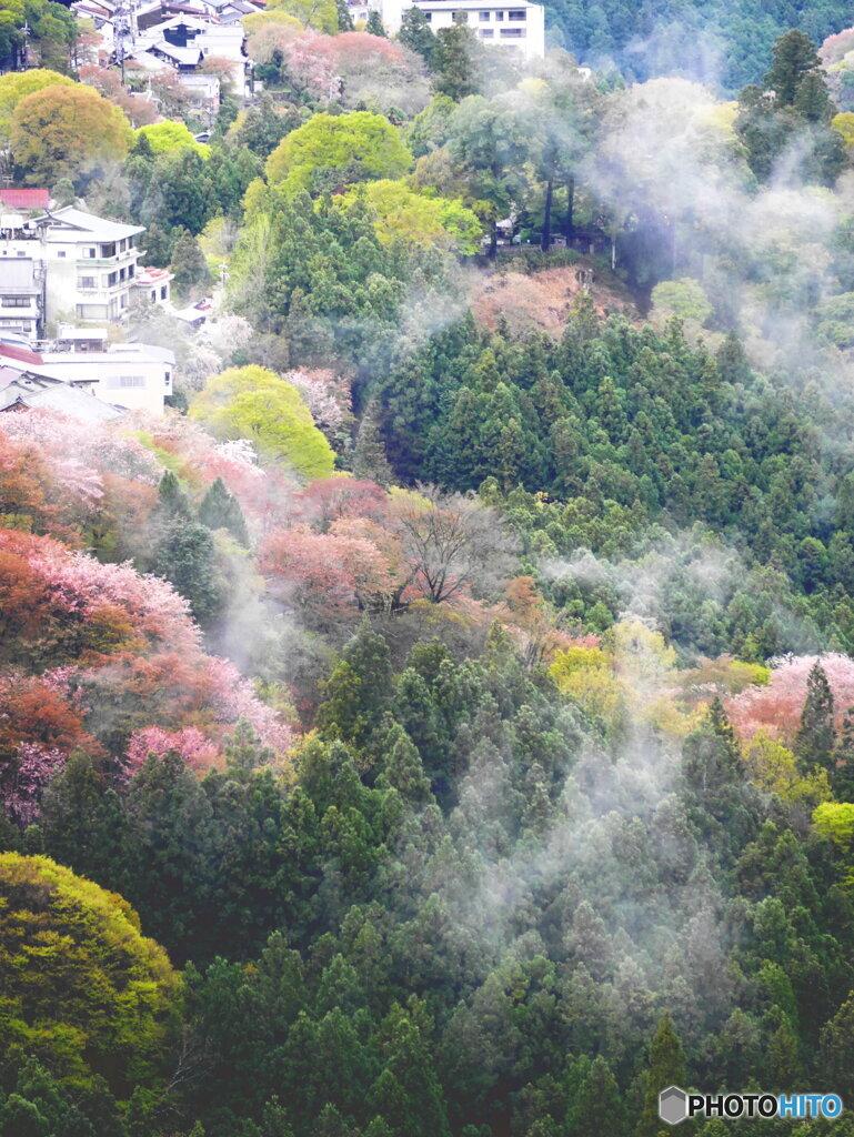 雨上がりの吉野桜