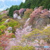 雨上がりの吉野桜 ④
