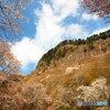 屛風岩と山桜  (3)