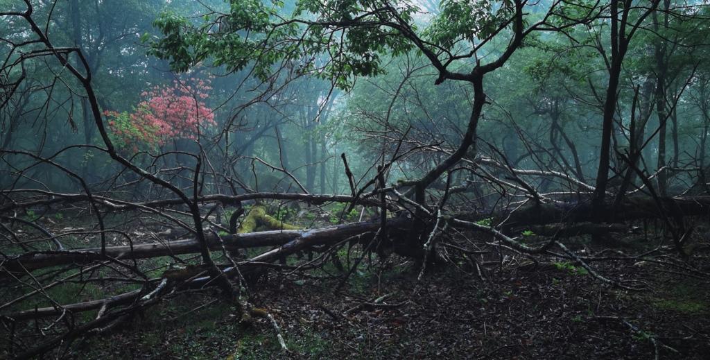 森に咲く山ツツジ