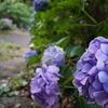 紫陽花が導く