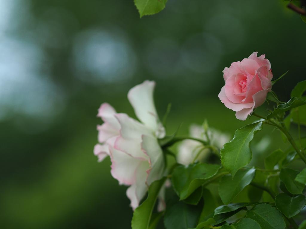 葉陰の薔薇