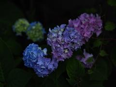 色変わりの紫陽花