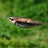 ツグミの飛翔