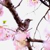 ひよどりと桜