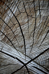 伐採された枯れ木