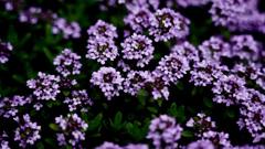 タイムの花*2