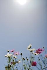 空とお日様とコスモスと