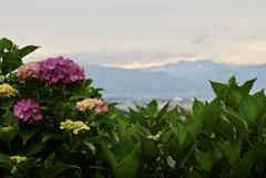 紫陽花と共に穂高連峰(北アルプス)を望む