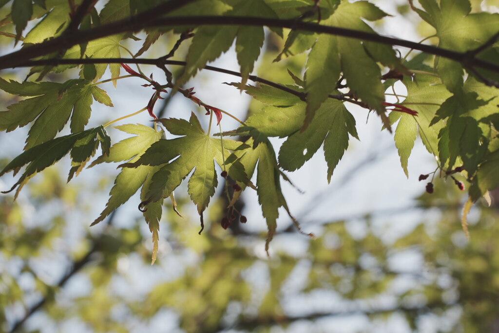 紅葉の幼葉