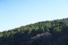 朝陽と新緑のカラマツ林