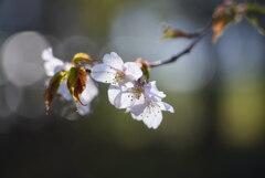 朝陽を浴びる山桜