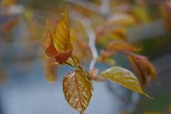 山桜の幼葉