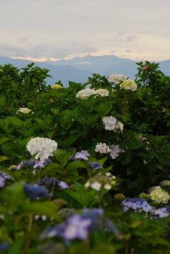夕暮れの穂高連峰を紫陽花とともに望む
