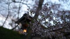 夕暮れ〜櫓と灯と葉桜と〜
