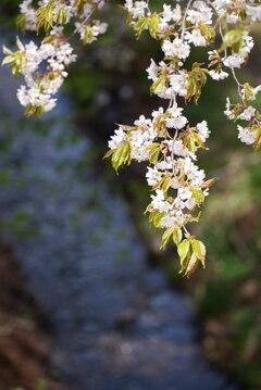 里山の春〜山桜〜