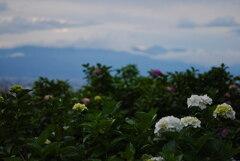 夕暮れの常念岳(北アルプス)を紫陽花と共に望む