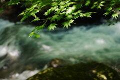 渓流の夏もみじ