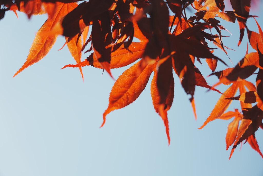 朝陽を浴びる楓の若葉