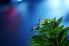 交差点の紫陽花*2;テールライト