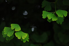 梅雨空の若葉