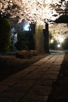 禅寺の沿道と夜桜