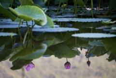 蓮池のある風景