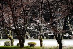 夜桜:饗宴