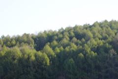 朝陽を浴びる新緑のカラマツ林
