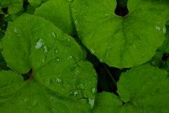 雨に濡れるフキの葉