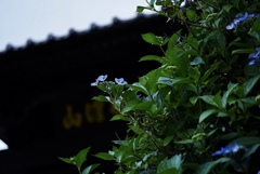 山門と紫陽花