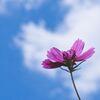 雲がコスモスに恋をした・・・ハート形の雲とひさしぶりの青空