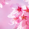 ピンクな桜