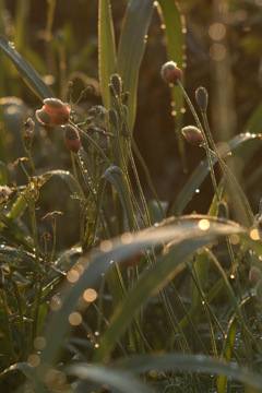 weed with bokeh at eary morning