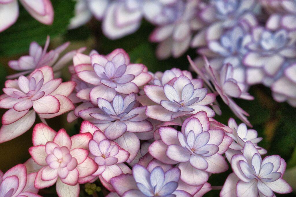 新種 紫陽花