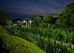 宵の菖蒲園