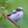 エナガ 幼鳥