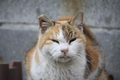 三毛猫、睨む。