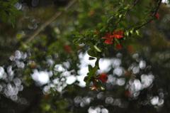 柘榴(ざくろ)の花