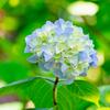 新緑の紫陽花