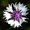 二ヶ領用水の花 ヤグルマギク