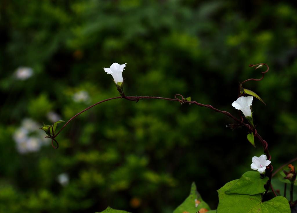 隅田川の花 マメアサガオ