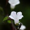 隅田川の花 マメアサガオ2