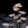 二ヶ領用水の花6