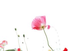 ひたち海浜公園の植物 ポピー