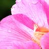 隅田川の植物 芙蓉