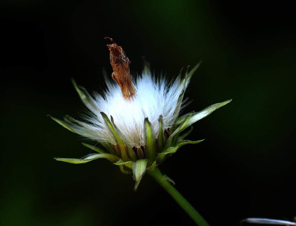隅田川の植物 ダンドボロギク