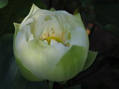 蓮の花14