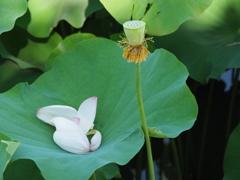 蓮の花18